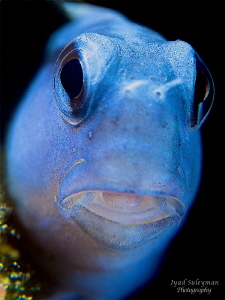 Blue Blenny with +10 SubSee wetdiopter and +2 Inon by Iyad Suleyman 